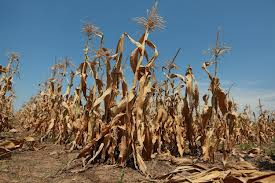 Prijava za štete od suše od 3.-7. rujna.